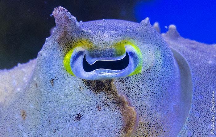 Картинки по запросу глаз каракатицы